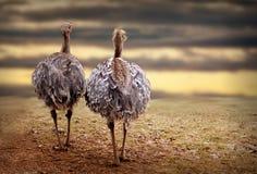 Twee struisvogels in aard Stock Foto's