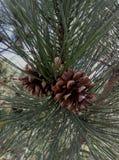 Twee stukken op een pijnboom Stock Foto's