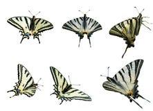 Twee Swallowtails royalty-vrije stock afbeelding