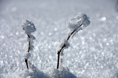 Twee takken in de sneeuw Stock Foto