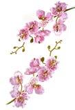 Twee takken van Orchideeën royalty-vrije stock afbeelding