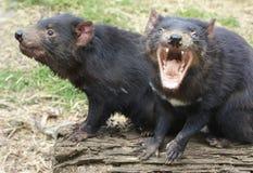 Twee Tasmaanse Duivels, één die gillen Stock Foto's