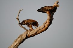 Twee Tawny Eagles Kruger Park South Afrika stock fotografie