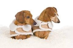 Twee Tekkelhonden in de Winterlagen die over eruit zien Stock Fotografie