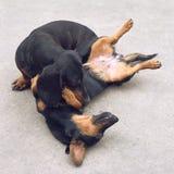 Twee Tekkelhonden het spelen Royalty-vrije Stock Afbeeldingen
