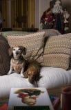Twee Tekkels in het Huiselijke Kerstmis Plaatsen Royalty-vrije Stock Foto