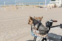 Twee terriers die van Yorkshire in de fietsmand zitten Stock Afbeelding