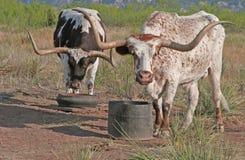 Twee Texas Longhorn Stock Afbeeldingen