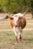 Twee Texas Longhorns in Weiland. Stock Afbeeldingen
