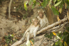 Twee Thaise Apen Royalty-vrije Stock Foto