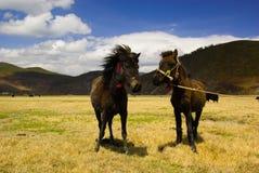 Twee Tibetaanse paarden royalty-vrije stock foto's