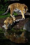 Twee tijgers Stock Foto's