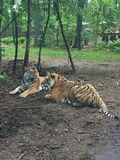Twee Tijgers die van Bengalen samen onder een kleine boom in het bos spelen royalty-vrije stock fotografie