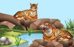 Twee tijgers door de vijver stock foto
