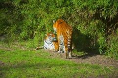Twee tijgers in het groene bos, de herfst royalty-vrije stock fotografie