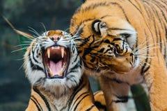 Twee Tijgers Sumatran Stock Afbeeldingen