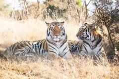 Twee tijgers van Bengalen Stock Fotografie