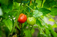 Twee tomaten op een tak Royalty-vrije Stock Afbeeldingen