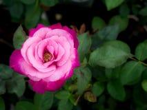 Twee Tonen doorboren Rose Flower Blooming royalty-vrije stock afbeeldingen