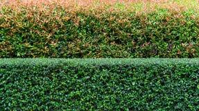 Twee toonstruik, Roze en Groene bladeren in kleine struik, Jonge bladeren in roze kleur met oude bladeren in groene kleur Royalty-vrije Stock Afbeelding