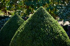 Twee topiary buxuskegels sluiten omhoog in openlucht in een tuin stock foto