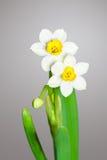 Twee tot bloei komende Gele narcissen Stock Foto