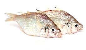 Twee tropische vissen Royalty-vrije Stock Foto