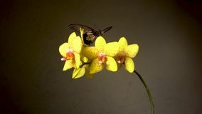 Twee tropische vlinders op een bloem stock video
