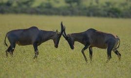 Twee Tsessebe die, Damaliscus-lunatuslunatus, antilope, hoornen sluiten royalty-vrije stock afbeelding