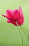 Twee Tulpen Stock Foto's