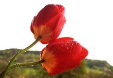 Twee tulpen in de regen Stock Afbeelding