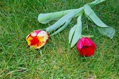 Twee tulpen, op een achtergrond van gras royalty-vrije stock afbeeldingen