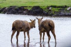 Twee valt de jonge Pere Davids Deer tribune in een ondiepe rivier als regen rond hen stock foto