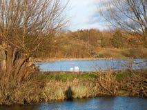 twee van de het waterwinter van de zwanenfamilie verre de herfstdieren Stock Fotografie