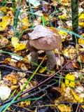 Twee van de paddestoel in het de herfstbos stock fotografie