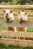 Twee varkens Stock Afbeelding
