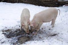 Twee varkens onder sneeuw en modder Royalty-vrije Stock Afbeeldingen