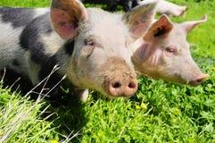 Twee varkens op een weide Stock Afbeelding