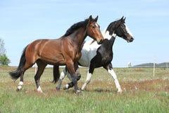 Twee verbazende paarden die op de lenteweiland lopen royalty-vrije stock foto's