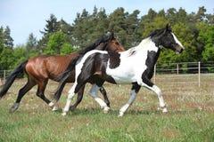 Twee verbazende paarden die op de lenteweiland lopen royalty-vrije stock fotografie