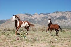 Twee Verfpaarden die bij Sandia-Bergen draven Stock Foto's