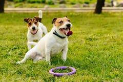 Twee vermoeide honden die en na actief spel ontspannen rusten royalty-vrije stock fotografie