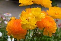 Twee verschillende schaduwen van gele bloem Stock Afbeelding