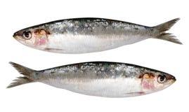 Twee verse geïsoleerdes sardines Royalty-vrije Stock Foto's
