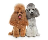 Twee verzorgd Toy Poodles samen royalty-vrije stock foto's