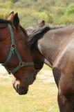Twee verzorgende paarden Stock Afbeeldingen