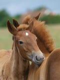 Twee Veulennen van het Paard van de Stempel van Suffolk Stock Afbeelding