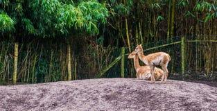 Twee vicuna samen, vicuna een specie hadden op de alpaca en kameelfamilie, dieren van de Andes van Peru betrekking royalty-vrije stock afbeeldingen