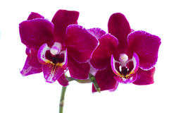 Twee violette orchideeën Stock Foto