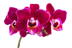 Twee violette orchideeën Stock Fotografie